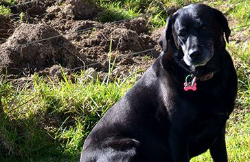 About my furry family black lab Brenda Willie auckland life coach